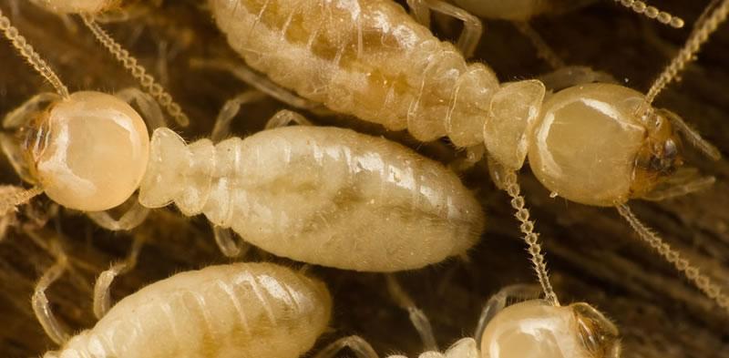 Heterotermes Ferox Termite