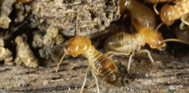 termite species in australia